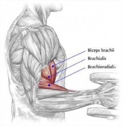 Bizeps – musculus biceps brachii